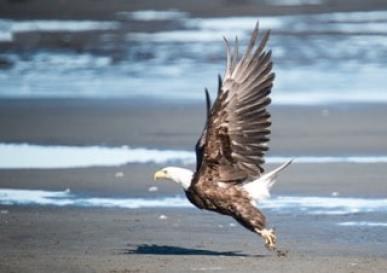 aigle-alaska en vol