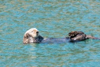 loutre dans eau -alaska