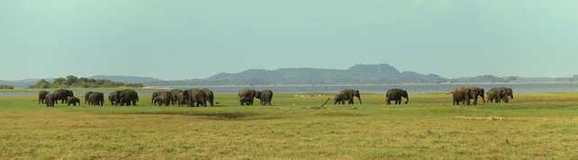 sri-lanka-elephants dans plaine