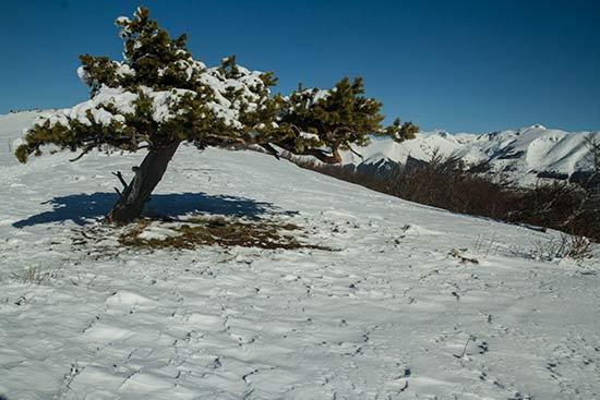 -raquette-isère-sapin-neige