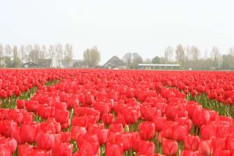 Tulpen_Engelenburgh_4