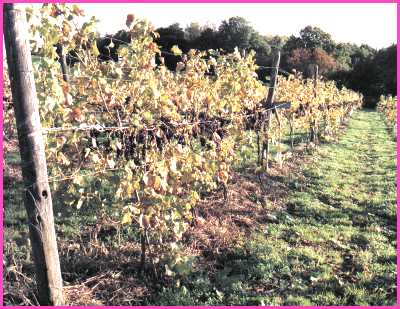 Black grapes (Rondo) at Sedlescombe organic vineyard, East Sussex