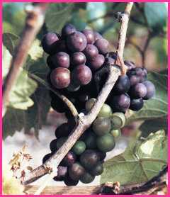 black grapes ripening in a Midlands vineyard