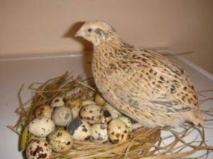 quail farming in Nigeria