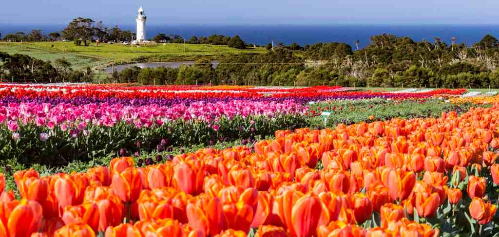 A tulip farm during the Wynyard Tulip Festival. Picture: Steven Penton