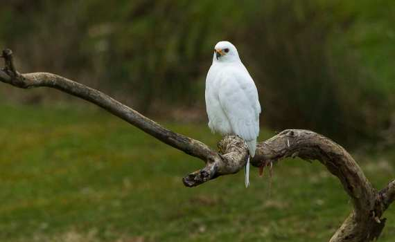 The grey goshawk is a white bird in Tasmania. Picture: Francesco Veronesi