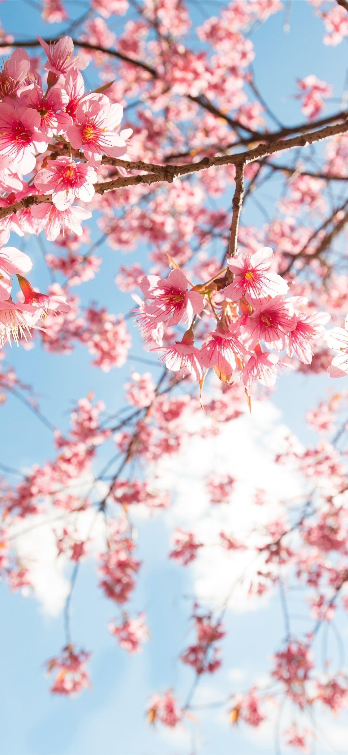 Cherry Blossom Wallpaper Enjpg