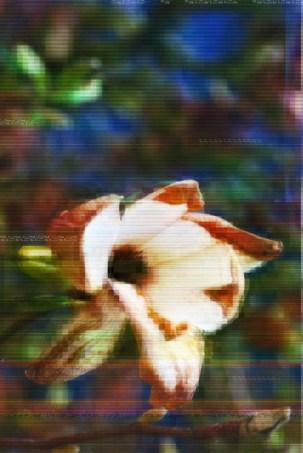 Magnolia (left)