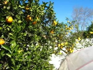 limoneros_naranjo-20140726T131355