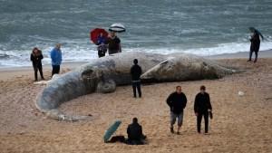 Una gran ballena joven apareció el jueves en una playa en la reserva de Nitzaniml al sur de Israel, junto con otras criaturas marinas.