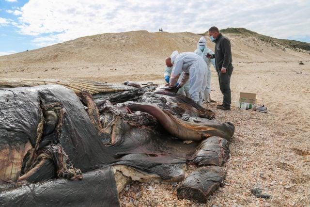 Veterinarios marinos toman muestras de una ballena muerta de 17 metros que apareció en una playa en la reserva Nitzanim el 21 de febrero de 2021. (Flash90)