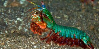 Gracias al profesor Viktor Gruev, cirujanos podrán tener mayor éxito en operaciones de tumores cancerígenos al mimetizar los ojos del camarón mantis payaso