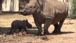 El Ramat Gan Safari anunció que uno de sus rinocerontes había dado a luz a un ternero macho sano y tanto la madre como el hijo estaban bien