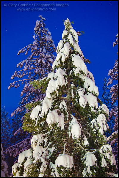 Photo: Pine trees covered in snow on a winter evening, near Arnold, Calaveras County, California