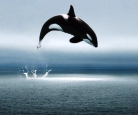 whales-jumping-joy-animal-white-ocean-orca-whale-water-black-desktop-wallpapers-1024x576
