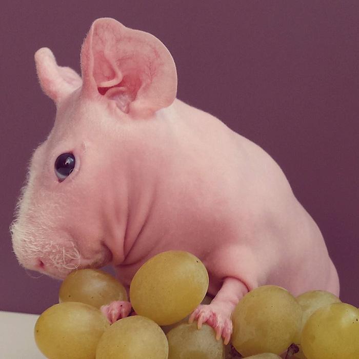 Le cochon de Guinée pose nu