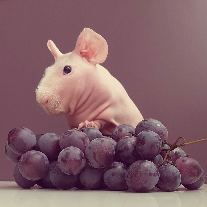 naked-guinea-pig-food-photoshoot-ludwik-pose nu