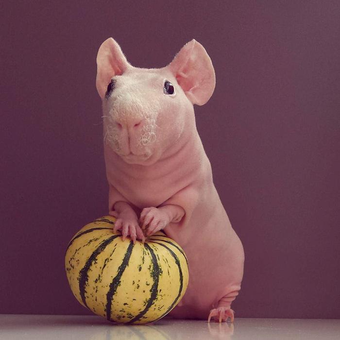naked-guinea-pig-food-photoshoot-ludwikpose nu