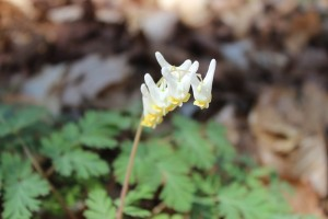 Dutchman's Breeches Willie Duke's Bluff Ella Srikhirisawan