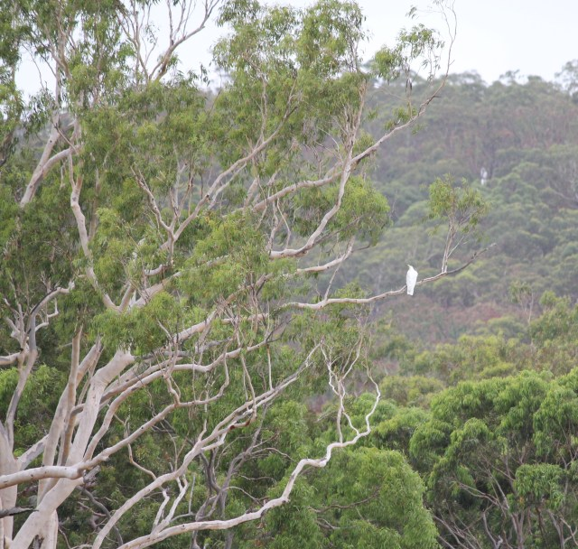 A large gumtree with a sulfur-crested cockatoo sitting on a branch. The cocky isn't suffering from overwhelm.