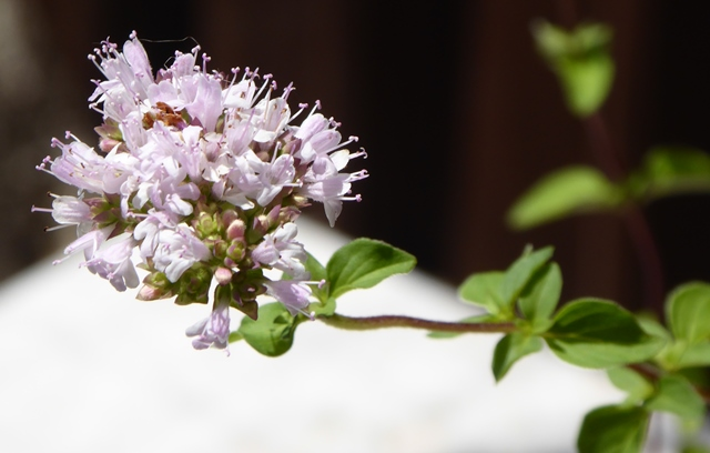 Flowers on Oregano plant.