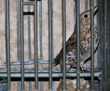uccello gabbia-lipu