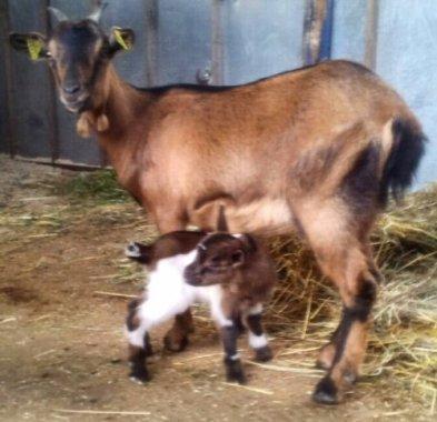 NS-mamma capra e capretto-2