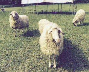 NS-pecore nuova casa 6525