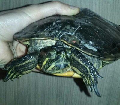 tartaruga-Enpa-NS-0026