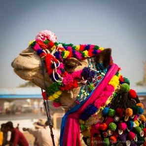 Pushkar, camel 1