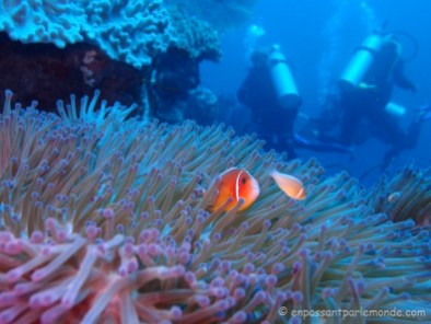 Poissons clown (ou Nemo)