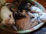 Cuccioli nati il 9 Gennaio (4)