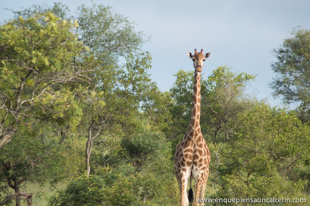 jirafa mirando