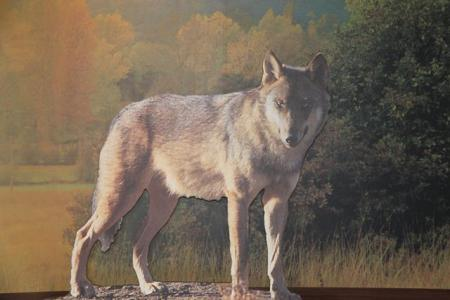 lobo sanabria