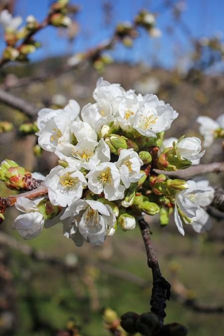 floración de los cerezos en Corullón