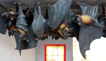 Serena Carone - Chauves-souris, 2011-2012 - Bêtes de scène à la Villa Datris - Cabinets de curiosité 02