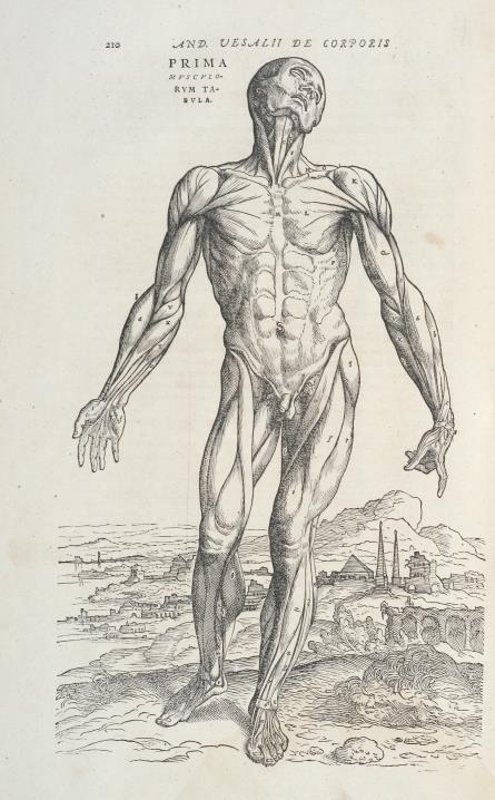 André Vésale, De humani corporis fabrica libri septem, planche d'illustration, 1555