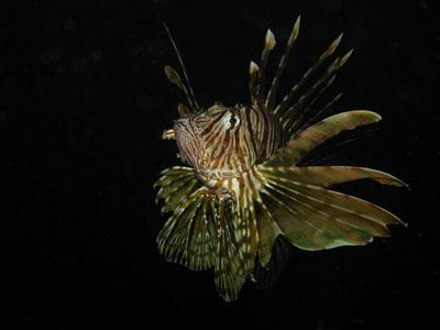 Pesce Leone