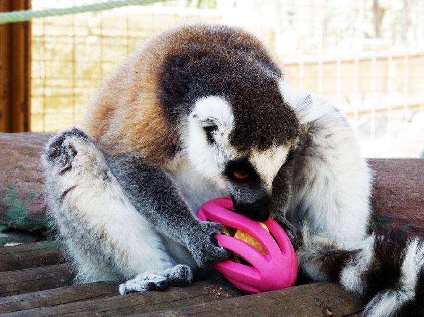 Lémur de cola anillada, con un Juguete de Enriquecimiento ambiental. Kong