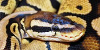 Patologías asociadas a la alimentación de los reptiles.