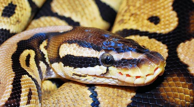 Patologías asociadas a la alimentación de los reptiles