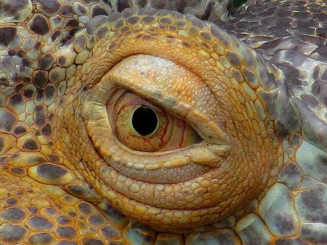 Enfermedades comunes de iguanas en terrarios. Ojo de iguana