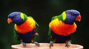 Enriquecimiento con pájaros y picaje. Estereotipia.