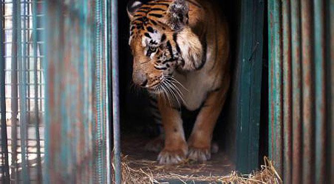 El tigre Laziz y el zoo de Gaza.