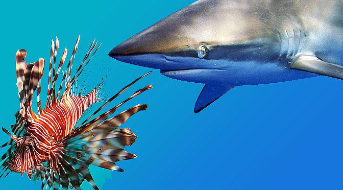 Entrenan tiburones contra especies invasoras.