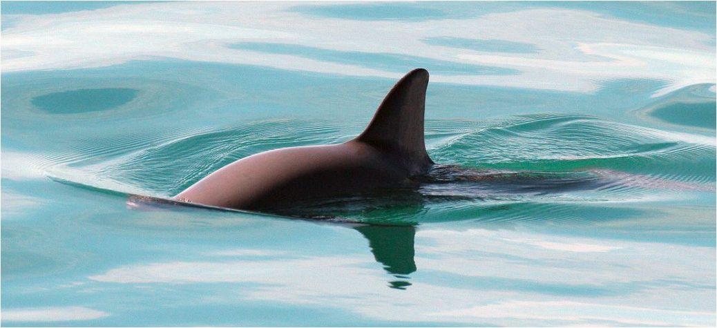 Finalmente, el objetivo es devolver las pequeñas marsopas al Golfo de California.
