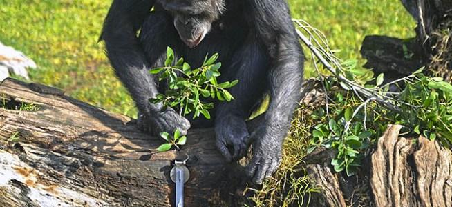 Termiteros para chimpancés