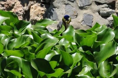 Jacinthe d'eau dans le jardines de puerta oscura