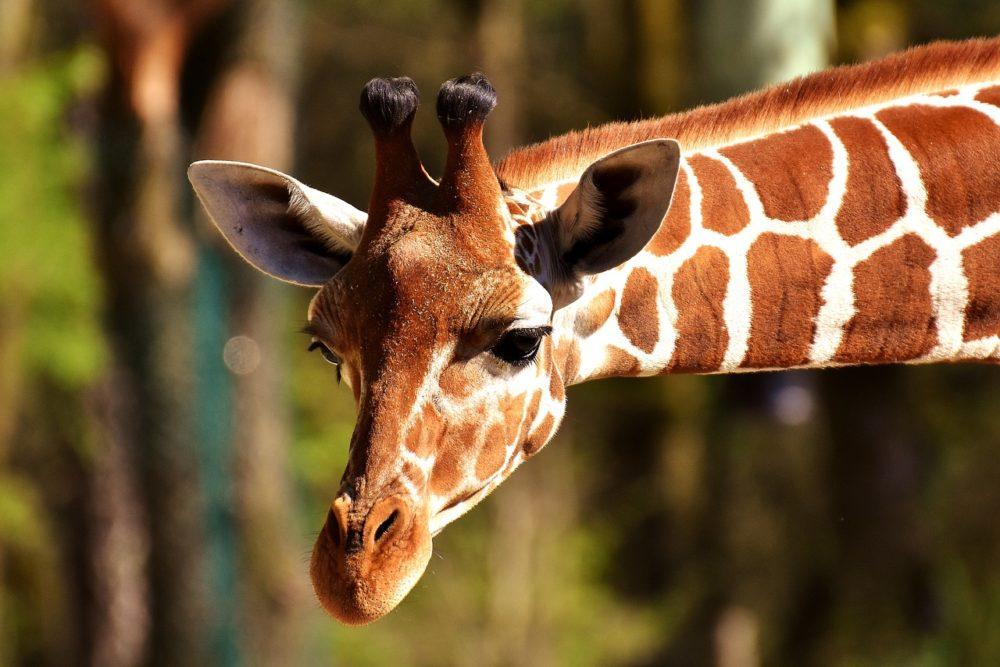 giraffe, wild animal, stains
