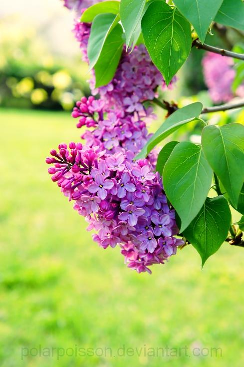 Spring Lilac